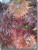 Sea Urchins at Paquachin Days